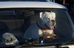 Um simpático bulldog atua como segurança de um Saab, em manifestação na Holanda com centenas de carros