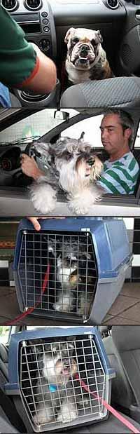 Transportar o cachorro solto no carro e no colo do motorista são formas erradas. Uma das formas corretas é colocar o animal na caixa e dispô-la no banco traseiro - Fotos: Marlos Ney Vidal/EM - 21/9/06