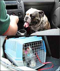 Cachorro solto dentro do carro não é a forma correta de transportar o animal, que deve ser colocado dentro de caixa apropriada e esta acondicionada no porta-malas - Marlos Ney Vidal/EM/D. A Press - 21/9/06