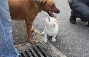 O pequeno Bulldog Fred e a Zara, da raça Leão da Rodésia